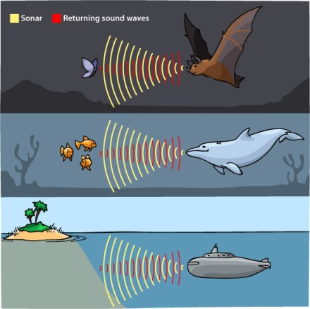 Figure showing how sounds waves move from bats, dolphins, and a submarine, to objects and back helping to form shapes and sizes of the objects the sound waves bounce off of. Photo credit: https://askabiologist.asu.edu/echolocation