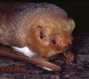Red bat (Lasiurus borealis). Photo Credit: https://biology.eku.edu/bats/redbat.html