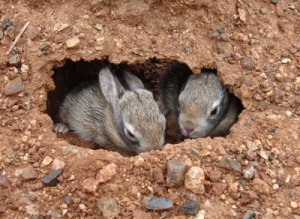 Baby rabbits hiding out in their burrow (Photo credit:https://www.pinterest.com/xracerxx/bunnies/).