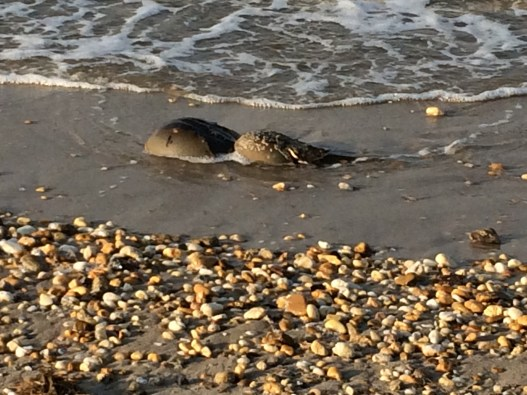 Female and male horseshoe crab finding a place to deposit and fertilize eggs. The female is larger and in the front, while the male is on the back (The male is actually holding onto the female). From: Jill Devine