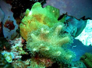 A frogfish (Antennarius spp.) hides in coral both as predator and prey (Photo credit:https://www.distractify.com/beautiful-diversity-of-coral-reefs-1197777333.html).