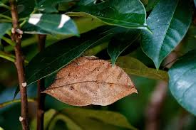 What appears to be a dead leaf is actually the Indian leaf butterfly (Photo credit:https://mybutterflycollection.com/2013/05/25/indian-leaf-butterfly-or-orange-oakleaf-kallima-inachus-siamensis/).