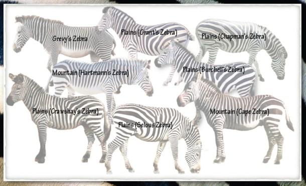 zebra-answer2