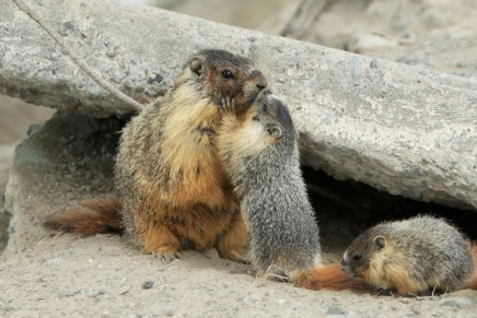 Yellow-bellied marmot (Marmota flaviventris) mother with pups. From: https://upload.wikimedia.org/wikipedia/commons/8/82/Mother_Yellow-bellied_Marmot_and_pup_kissing.jpg