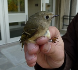 The ridiculously adorable ruby-crowned kinglet (left) and impossibly small winter wren, both spotted wintering in downtown Newark, NJ. Photos by CLaus Holzapfel