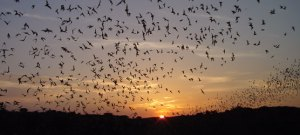 Mexican Free-tailed Bats migrate between Oregon and Southern Mexico. Image credit:Nick Hristov - https://www.nps.gov/cave/naturescience/images/bat_outflight_hristov_556.jpg