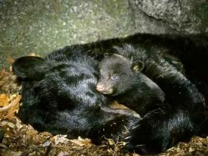 Image of black bear: Image credit:https://www.examiner.com/article/understanding-how-bears-hibernate-may-lead-to-breakthroughs-human-healthcare