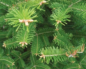 evergreen:https://northernwoodlands.org/articles/article/needles-leaves