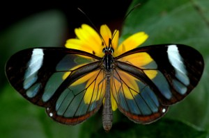 The aptly named clearwing butterfly (Photo credit: https://www.rockcostarica.com/lake-arenal/gallery/clearwing-butterfly/).