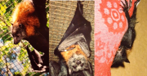 Grey-headed flying foxes. The pictures on the left are of non-releasable adults that had come into the rehabilitation center. The one on the right is an orphan who was rescued, raised, and released by the rehabilitation center. Yes, I got to bottle feed her!
