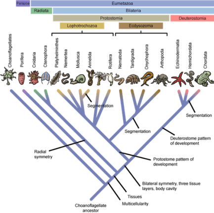 Cladogram showing evolution of key structures in animals. The evolution of the anus occurred in the transition from radial to bilateral symmetry. From http://biologicalexceptions.blogspot.com/2015_02_01_archive.html