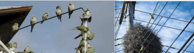 Monk Parakeets may be a cute and unexpected site in New Jersey, but their nests can be a serious fire hazard.