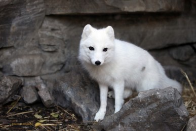 Arctic fox (Alopex lagopus) ready for the winter with white fur. Photo from: http://cincinnatizoo.org/blog/animals/arctic-fox/