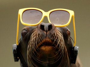 A sea lion wears a pair of protective glasses during a publicity stunt set up by the Sunshine International Aquarium in Tokyo, during a solar eclipse viewing event in 2009.REUTERS/Yuriko Nakao http://www.businessinsider.com/animal-behavior-during-solar-eclipse-2017-8