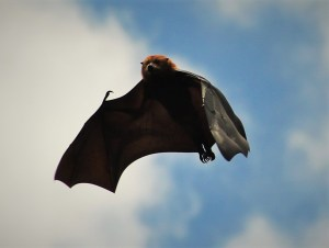 Mauritian fruit bat flying away during a culling operation in 2015