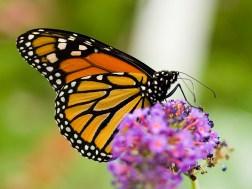 Bildergebnis für Schmetterlingsart public domain
