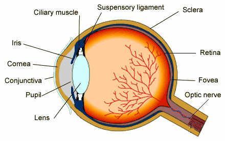 Anatomy Sense Organs Science Olympiad Student Center Wiki