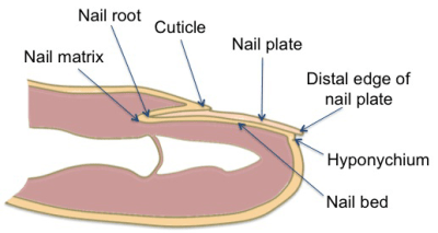 diagram of human nail single pole dimmer switch wiring uk anatomy/integumentary system - science olympiad student center wiki