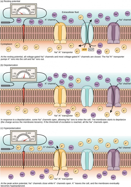 cardiac conduction system diagram iron carbon phase explained anatomy/nervous - science olympiad student center wiki