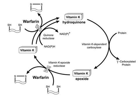 vitamin-k-cycle