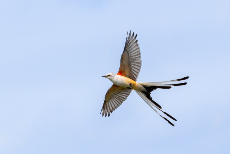 scissortailed flycatcher in flight, with its wings and tail feathers outstretched against a blue sky