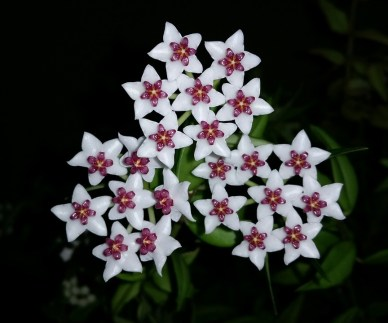 Hoya plants photo - Science and Digital News