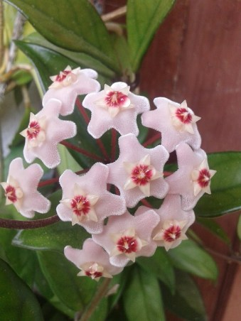 Hoya plants photo 3 - Science and Digital News