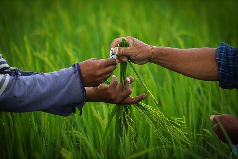 IRRI, Rice Network, endorsed, breeding, ASEAN