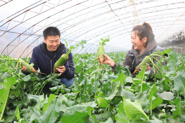 On November 18, visitors are picking Shawo fruit radish in the growing base in Xinkou Town