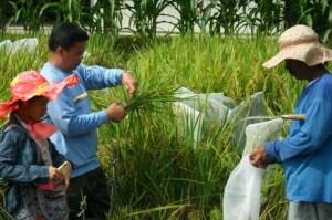 Gov't approval for Golden Rice commercialization awaited.