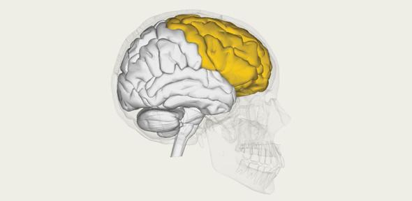 Frontal lobe. Credit: BodyParts3D/Anatomography