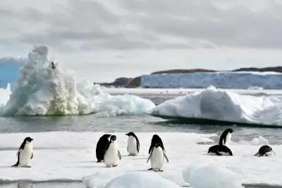 Adelie Penguins Ice Free Summer