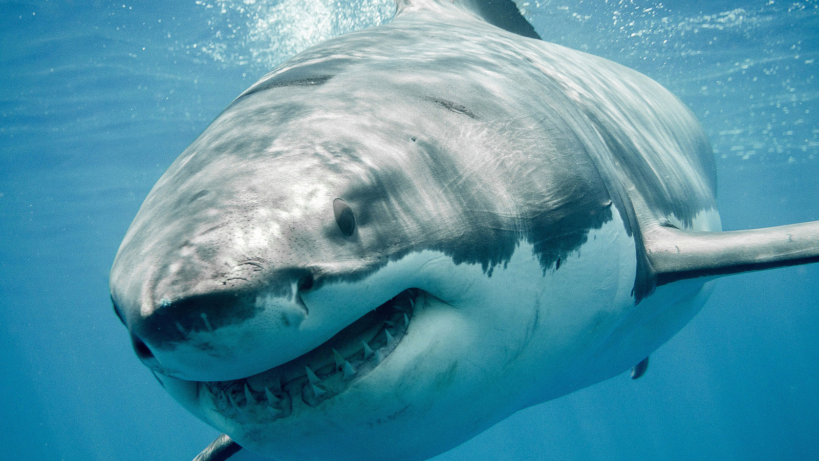 Scientists Document Summer Surge Of Great White Sharks