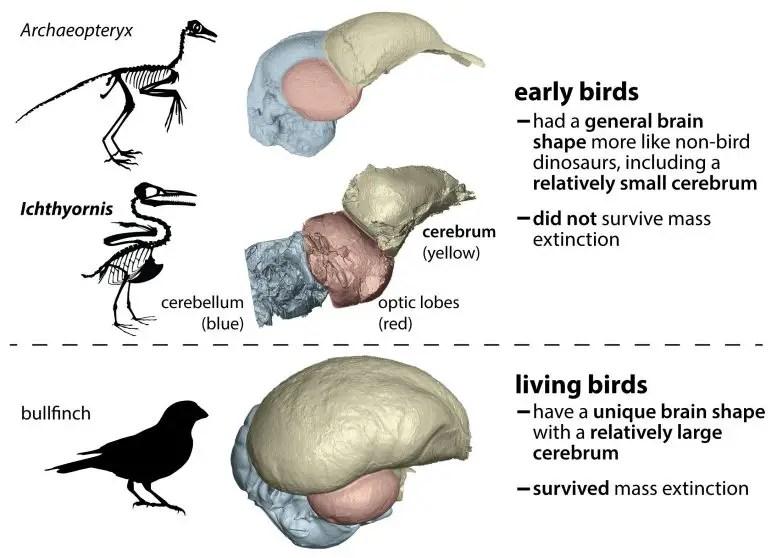 Bird brain comparison