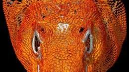 Bony Plates Cover the Skull of an Adult Komodo Dragon