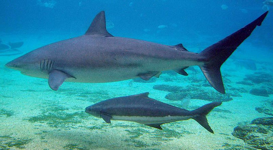 Carcharhinus-obscurus-spottail-shark