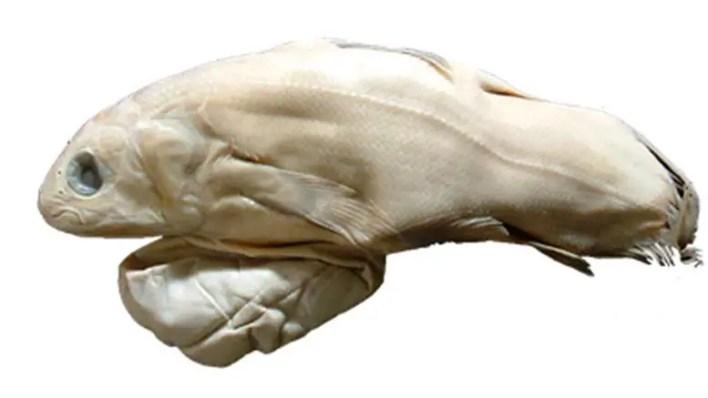 Coelacanth Embriyo