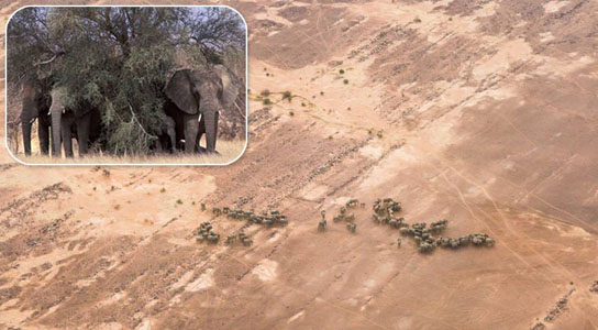 Elephants Make the Long Trek Across Deserts For Survival