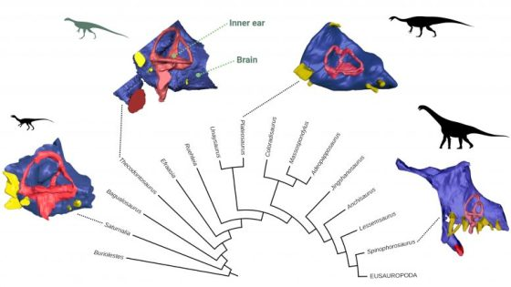Evolution of the Endocast in Sauropodomorphs