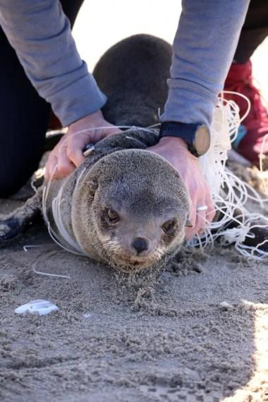 Fishing Line Entanglement of Juvenile Cape Fur Seals