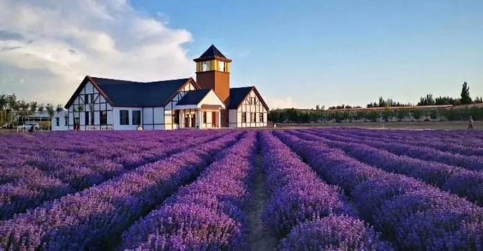 Genetic Basis of Lavender's Allure
