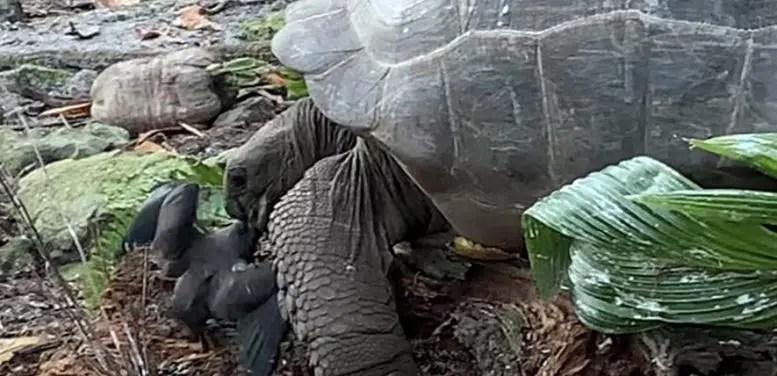 Giant Tortoise Attacks Bird 3