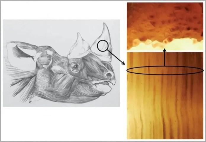 Head of Browse (or Black) Rhino