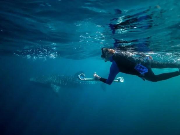 Measuring whale shark