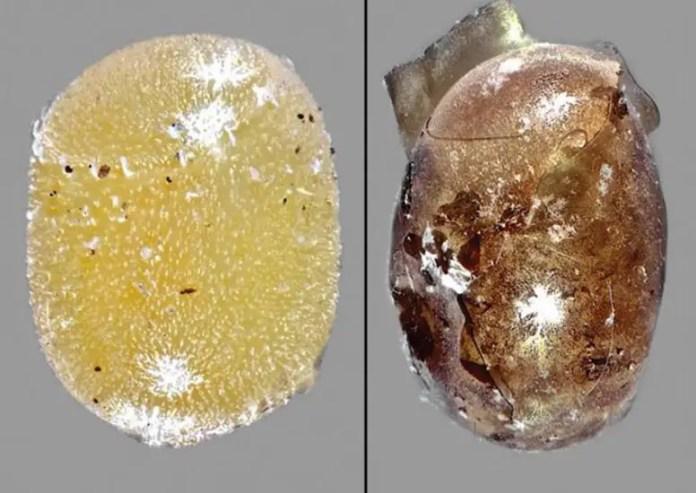 Non-Parasitized Vs. Parasitized Bagrada Bug Egg