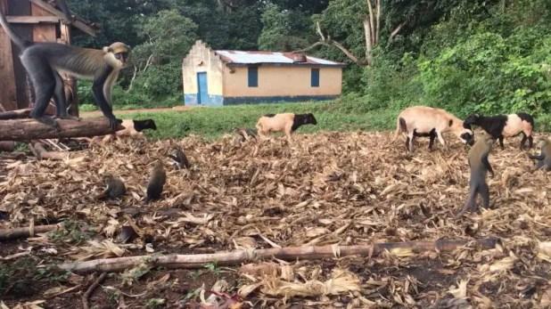 Primates, Livestock, House in Ghana
