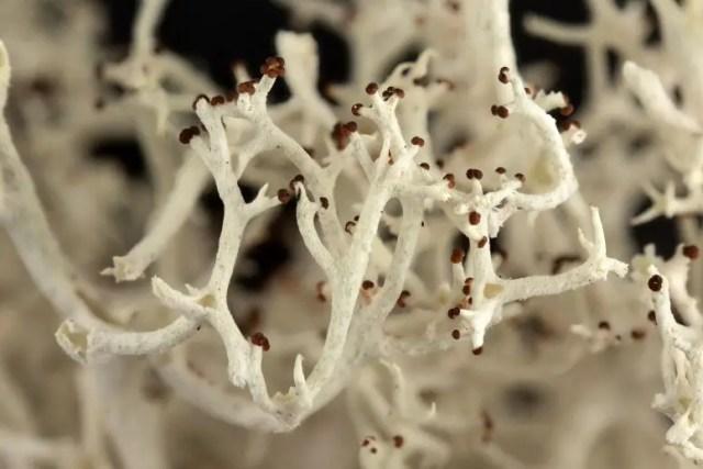 Reindeer lichen reproductive organs