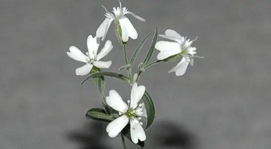 Silene_stenophylla