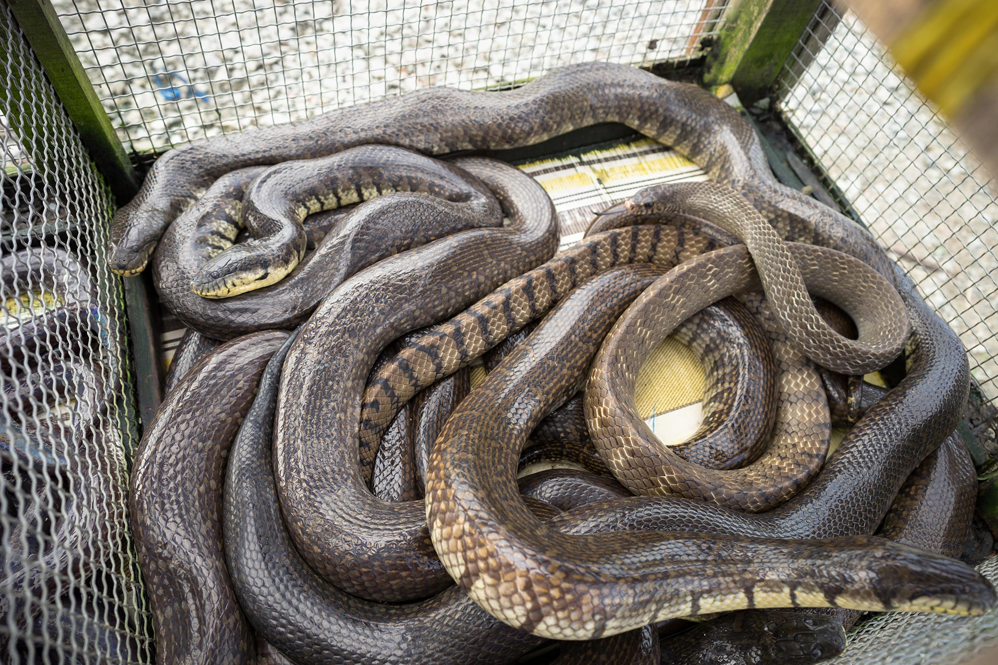 "Snake Pneumonia"" – Coronavirus Outbreak in China Traced to Snakes ..."