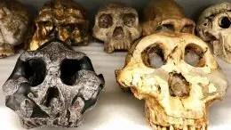 Two Key Specimens: Paranthropus Aethiopicus and P. Boisei